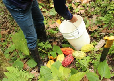 collecting cacao pepas